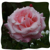 Rosa 'New Dawn'  clg  4LD
